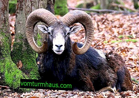 Wild ram: egenskaper och typer av artiodactyl med böjda horn