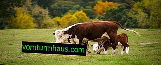 Bijes kod goveda: simptomi i liječenje