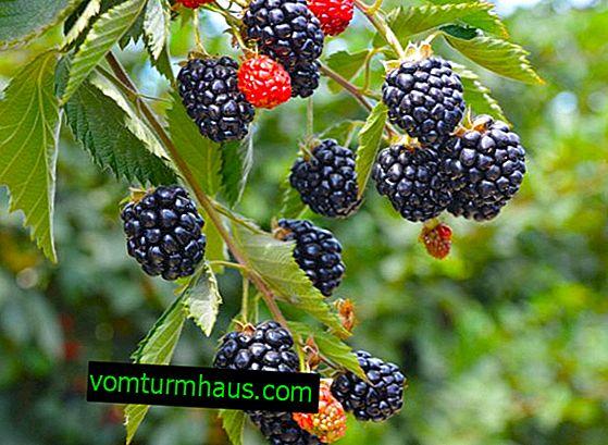 Variété Blackberry Cherokee: caractéristiques, caractéristiques de la culture