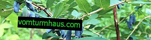 Wiciokrzew jadalny w środku sezonu Moskwa 23 - główne cechy