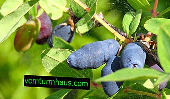 Spiselig kaprifolium Sibiryachka - funktioner og egenskaber