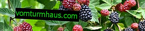 Description and features of growing Blackberry varieties Chief Joseph