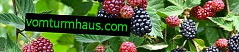 Description and features of growing Blackberry varieties Chief Joseph