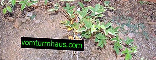 What is the best way to transplant a blackberry in spring: an adult plant, young, with leaves