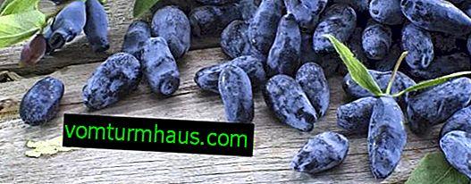 Spiselige kaprifoliesorter Kamchadalka - vigtigste egenskaber