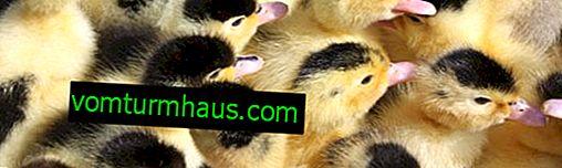 Patos Moulard: descrição da raça, características de criação em casa