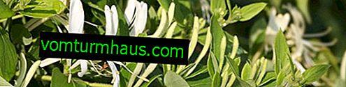 Zimolez japonský - druh dekorativní zimolez, vlastnosti