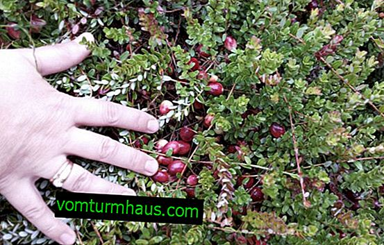Cranberry variety Stevens: features of cultivation and care