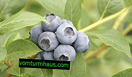 Blueberry Draper: Variety Description