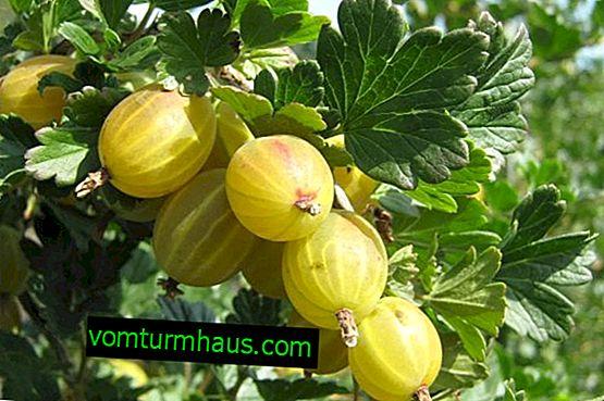 Descrição variedades de groselhas Snezhana