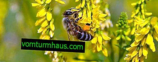 Donnik: beskrivelse af honningplanten