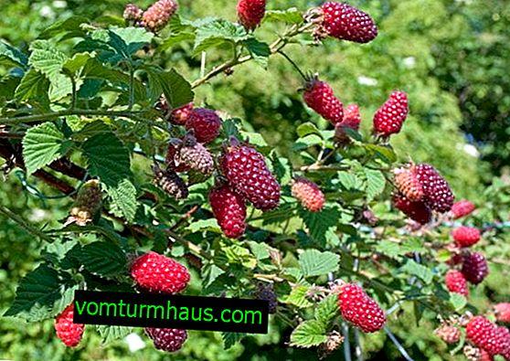 Hybride hybride framboise-mûre: caractéristiques, caractéristiques de la technologie agricole