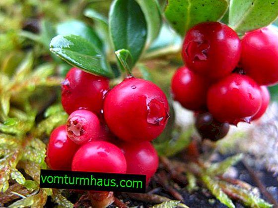 Odmiana Lingonberry Czerwona perła: cechy uprawy