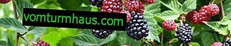 Odmiany ogrodowe Blackberry Tornless Evergreen - podstawowe cechy, technologia rolnicza