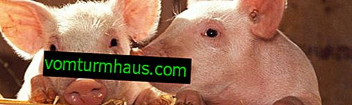 Diarrhea in piglets: the main reasons how and how to treat young animals and adults