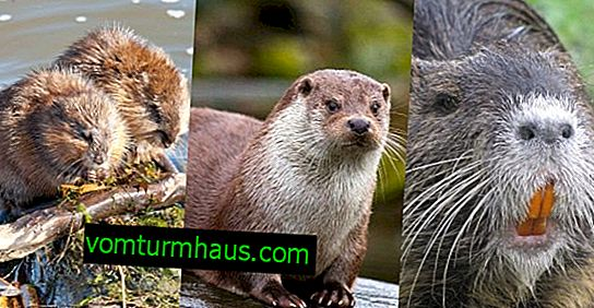 Muskrat, nutria, otter: characteristics and distinctive features from a beaver