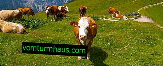 Kako liječiti telijazu krave?