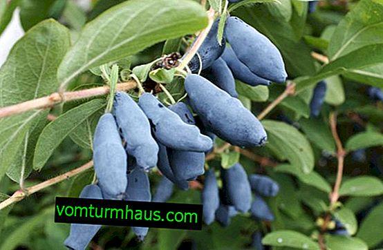 Avacha madreselva comestible: características del cultivo de un grado