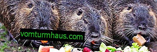 Vad äter nutria hemma och i naturen