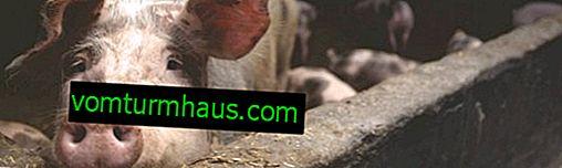 Jak zrobić i zainstalować samodzielne poidła dla świń