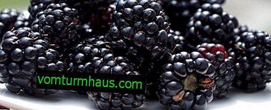Blackberry Kitatini (Kittatinni): cechy i cechy uprawy