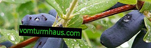 Kaprifolie i forstæderne: hvordan man planter og vokser ordentligt