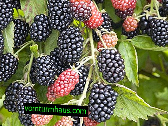Advantages and Disadvantages of Heaven Blackberry Varieties Can Wait