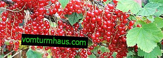 Czerwona porzeczka Natalie - główne cechy odmiany