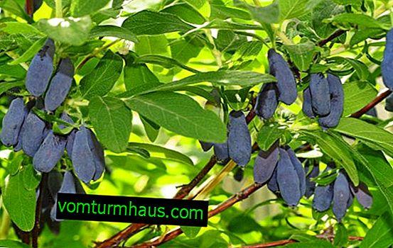 Wiciokrzew jadalny słodki Morena: główne cechy odmiany