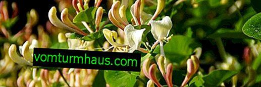 Liana profumata decorativa - Honeysuckle Honeysuckle