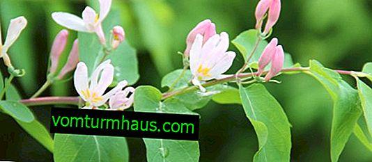 Honeysuckle Tatar dekorativa - egenskaper och funktioner