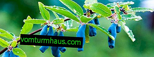 Ätbara kaprifol sorter Bakcharskaya - funktioner och egenskaper