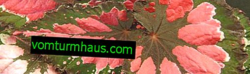 Royal begonia houseplant: types and description, home care