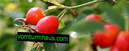The nuances of transplanting an adult rosehip bush.  Follow-up care