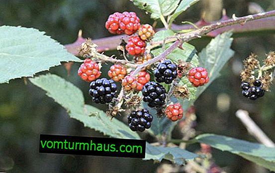 Caractéristiques de la culture des variétés de mûres Himalaya
