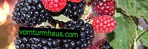 Blackberry trädgård: sorter för Ural, hur man växer, regler regler för vård