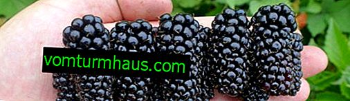 Značilnosti gojenja sort blackberry Giant