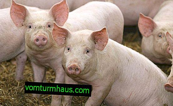 Sztuczne zapłodnienie świń w domu