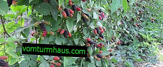 Funkcie pestovania odrôd černice