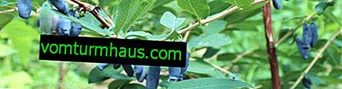 Kaprifolies spiselig Bullfinch - vigtigste egenskaber