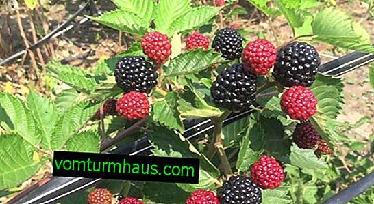Funktioner af voksende Blackberry Jumbo
