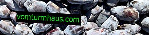 Diverse spiselige kaprifolium Bazhovskaya: egenskaber, dyrkningsfunktioner