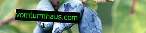Charakterystyka i cechy rosnących odmian wiciokrzewu Zvyozdochka