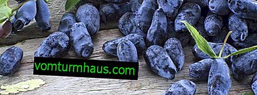 Qué es la madreselva de fruta útil para el cuerpo humano: métodos de aplicación
