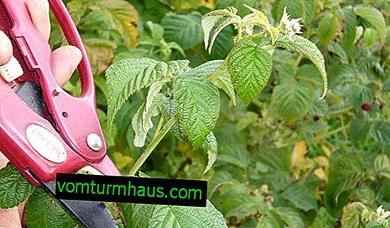 Ako urobiť malinové prerezávanie tak, aby bola dobrá úroda