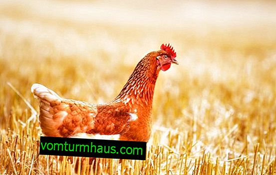 Chicken leg diseases and their treatment