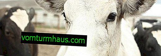 Kako pomoći kravi kod trovanja