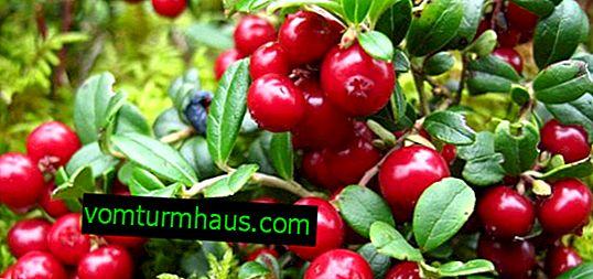 Cultiver des airelles de brousse: variétés populaires