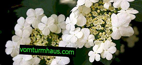 Viburnum de Sargent Onondaga: description et soin de la variété