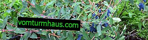 Geißblatt: wie lange kann es Früchte tragen, Pflanzenentwicklung